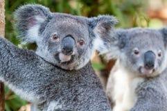 Dwa koali siedzi stronę w odległość boczny ono wpatruje się - obok - Zdjęcie Stock