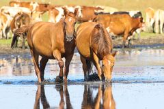 Dwa kobylaków koni dzika woda pitna Zdjęcie Stock
