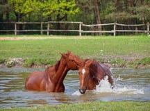 Dwa kobylaka konia skąpanie w stawie Zdjęcie Royalty Free