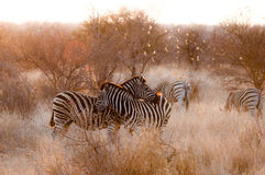 Dwa kochającej zebry Obraz Royalty Free