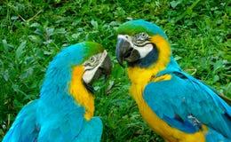 Dwa kolorów żółtych ara zdjęcie royalty free