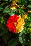 Dwa kolorów kwiat Zdjęcie Royalty Free
