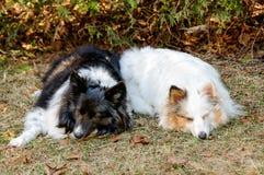 Dwa kolorów Shetland sheepdog dosypianie Zdjęcia Stock