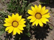 Dwa kolor żółty z brązem paskuje gazania kwiaty Fotografia Royalty Free