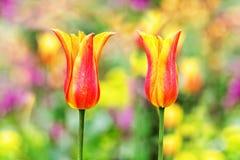 Dwa kolorowego tulipanu Zdjęcie Stock