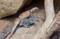 Dwa kolorowej jaszczurki Zdjęcia Royalty Free