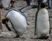 Dwa komicznego królewiątko pingwinu (Aptenodytes patagonicus) Obrazy Royalty Free
