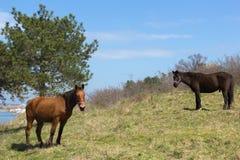 Dwa koni pasanie na trawie Obrazy Royalty Free