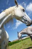 Dwa koni zakończenie zdjęcie stock