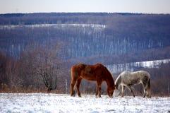 Dwa konia obrazy royalty free