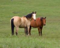Dwa Konia Zdjęcie Stock