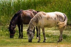 Dwa konia Zdjęcia Stock