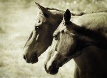 Dwa konia Obraz Royalty Free