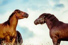 Dwa konia bawić się wpólnie obrazy royalty free