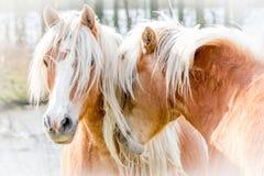 Dwa konia Cuddling fotografia stock