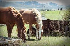 Dwa konia Je trawy na gospodarstwie rolnym zdjęcia stock
