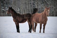 Dwa konia jest ubranym zimę pokrywają bawić się w śnieg zakrywającym padoku fotografia royalty free