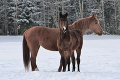 Dwa konia jest ubranym zimę pokrywają bawić się w śnieg zakrywającym padoku fotografia stock