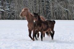 Dwa konia jest ubranym zimę pokrywają bawić się w śnieg zakrywającym padoku obrazy stock
