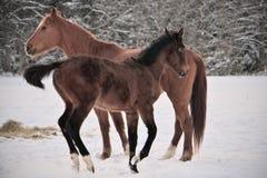 Dwa konia jest ubranym zimę pokrywają bawić się w śnieg zakrywającym padoku obraz royalty free