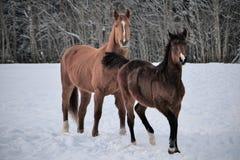Dwa konia jest ubranym zimę pokrywają bawić się w śnieg zakrywającym padoku obraz stock
