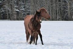 Dwa konia jest ubranym zimę pokrywają bawić się w śnieg zakrywającym padoku zdjęcia royalty free