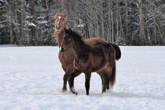 Dwa konia jest ubranym zimę pokrywają bawić się w śnieg zakrywającym padoku obrazy royalty free