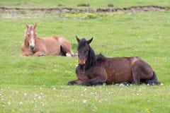 Dwa konia kłama na łące Zdjęcia Royalty Free