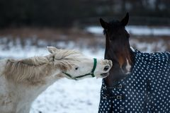 Dwa konia kochają each inny Obrazy Royalty Free