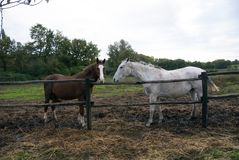 Dwa konia, dwa koloru obraz stock