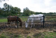 Dwa konia, dwa koloru obrazy stock