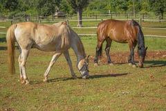 Dwa konia konia na rancho (brown koń) Obraz Stock