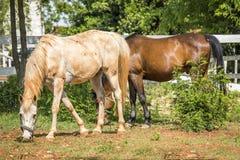Dwa konia konia pasają Zdjęcie Royalty Free