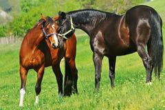 Dwa konia na paśniku Obrazy Stock