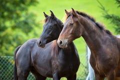 Dwa konia na zielonym tle plenerowym Fotografia Stock