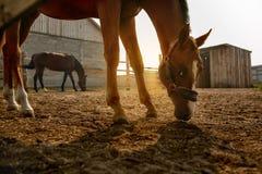 Dwa konia przy świtem zdjęcie stock
