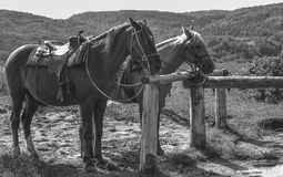 Dwa konia przygotowywającego dla przejażdżki Obrazy Royalty Free