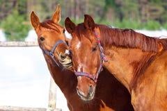 Dwa konia są czerwoni w kolorze jeden całuje inny zdjęcia royalty free
