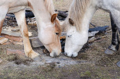 Dwa konia stawiają czoło each inny, gra no są warty czekać popióły ogień Obraz Stock
