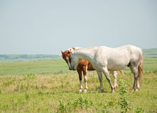 Dwa konia target462_1_ nosy w preryjnym paśniku Obraz Stock