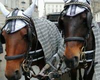 Dwa konia w jarzmie, zakończenie w górę fotografia royalty free