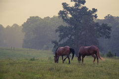 Dwa konia w polu pod deszczem Zdjęcia Royalty Free