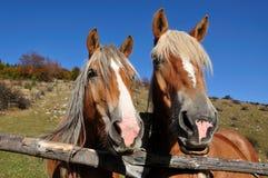 dwa konie Zdjęcie Royalty Free