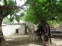 Dwa konie czarny i biały odpoczywają pod drzewem Royalty Free Stock Images