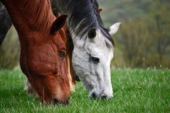 dwa konie jadą Obrazy Royalty Free