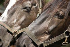 dwa konie się blisko Zdjęcie Royalty Free
