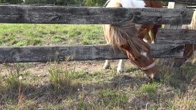 Dwa konika w gospodarstwie rolnym Koników konie jedzą trawy zbiory