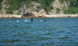 Dwa kormoranów bieg na wodzie Obrazy Stock