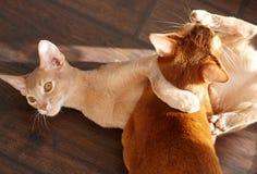 Dwa kotów śmieszny czerwony bawić się Zdjęcie Stock