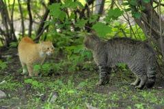Dwa kotów czerwień i paskujący bełt Fotografia Stock
